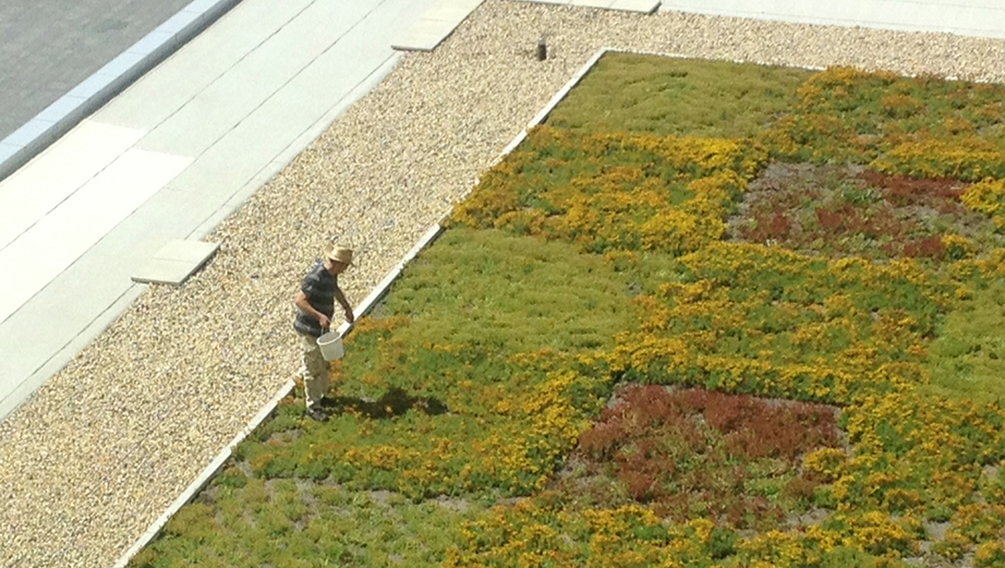 A gardener on top of a green roof.