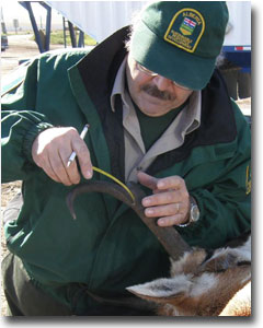 Wildlife management employee measuring antelope's antler