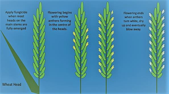 Artist rendering of flowering stages of wheat