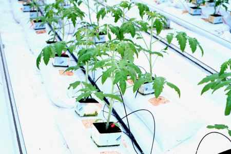 Tomato plant propagation in commercial greenhouse tomato