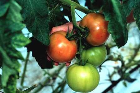 Pest and disease management in commercial greenhouse tomato