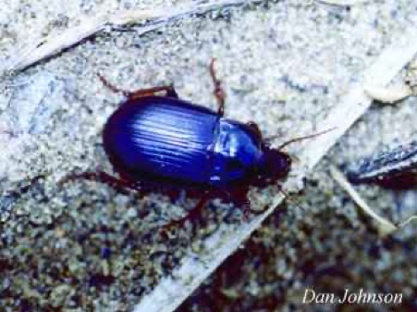Photo of a Ground beetle