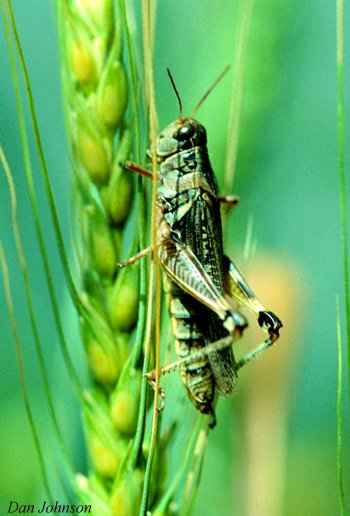Close-up of a migratory grasshopper on a wheat spikelet