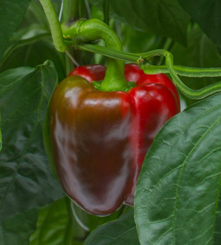Ripening red sweet bell pepper