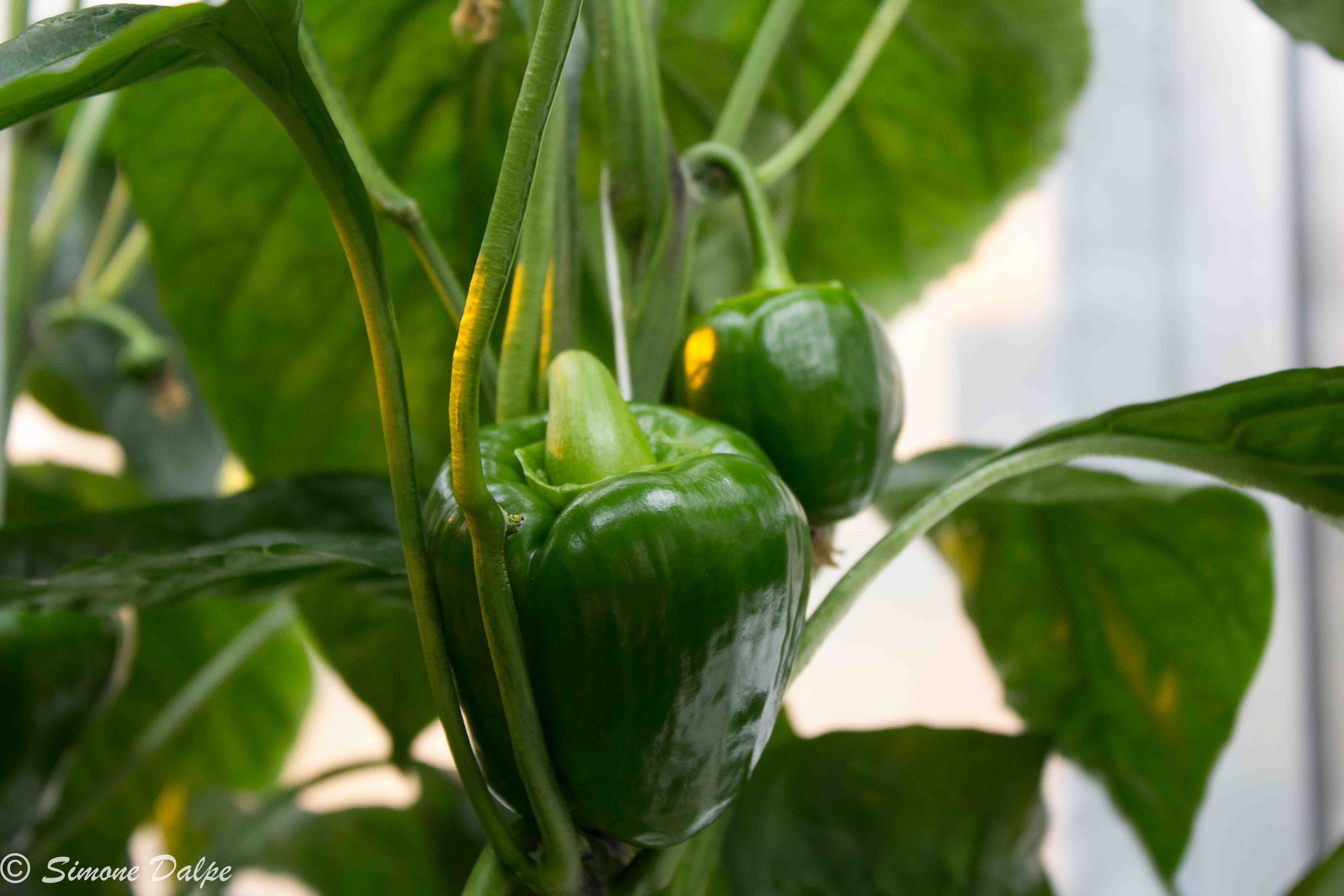 Young sweet bell peppers ripening on vine