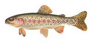 Artist rendering of an Athabasca Rainbow Trout