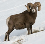Official Mammal - Bighorn sheep