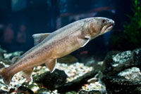 Official Fish - Bull Trout