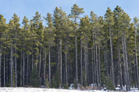 Tree of Alberta - Lodgepole Pine
