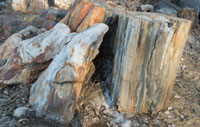 Official Stone - Petrified wood